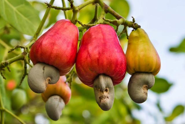 Cashew nuts.jpg